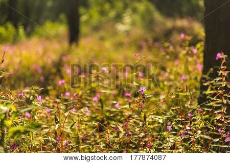 Background of Field Pink Flowers, Umphang, Thailand