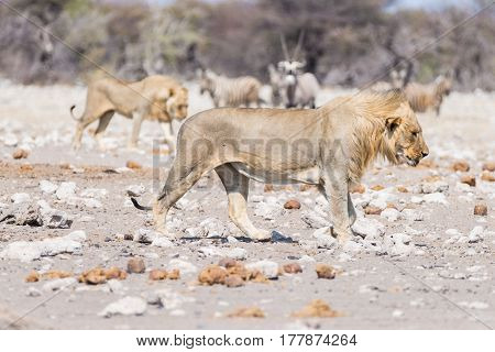 Young Male Lion, Ready For Attack, Walking Towards Herd Of Zebras Running Away, Defocused In The Bac