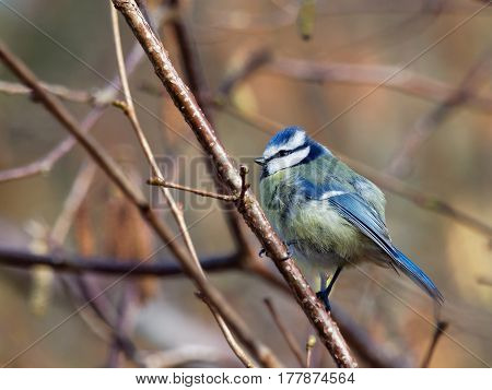 Blue tit on a twig with blurry background