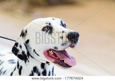 Closeup shot of the head of beautiful dalmatian dog