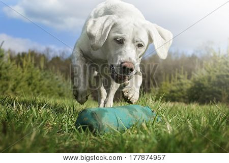 white labrador retriever dog running and playing with toy on meadow