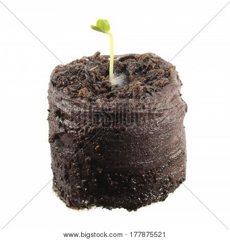 Seedling of radish in clod of soil isolated on white background