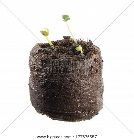 Two-day seedling of common sage in clod of soil isolated on white background