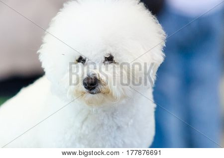 Beautiful purebred white Bichon Frise dog. Adorable can