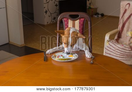 Unmarried basenji dog is having lunch all alone in empty dining room