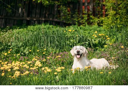 White Obedient Funny Young Happy Labrador Retriever Sitting In Grass And In Yellow Dandelions Outdoor. Spring Season In Park