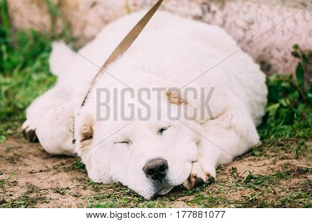 Central Asian Shepherd Dog Sleeping Outdoor. Alabai - An Ancient Breed From The Regions Of Central Asia. Used As Shepherds, As Well As To Protect And For Guard Duty