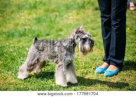 Small Miniature Schnauzer Dog Zwergschnauzer Standing Near Woman In Green Grass. Adult Black-and-silver With Natural Ears, The Long Eyebrows And Full Beard. Dog Play Outdoor In Green Spring Park Meadow