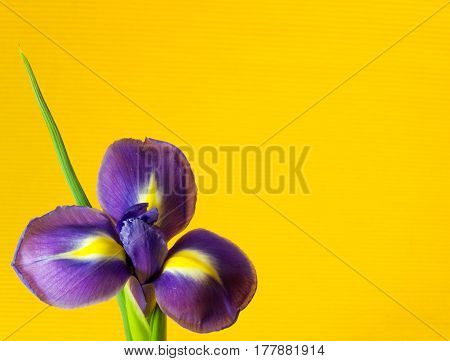 Detail of Iris flower on yellow background
