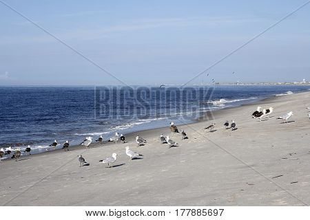 Many wild seagull birds on the beach in Caswell Beach North Carolina on a sunny day. Seagull birds on the Atlantic Ocean coast shore in Caswell Beach North Carolina.