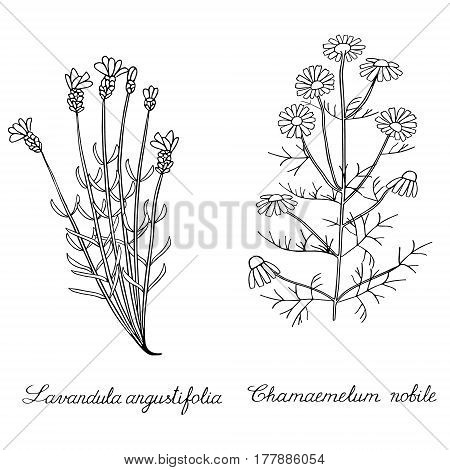 Lavender spicate camomile wild Hand drawn sketched vector illustration. Doodle graphic