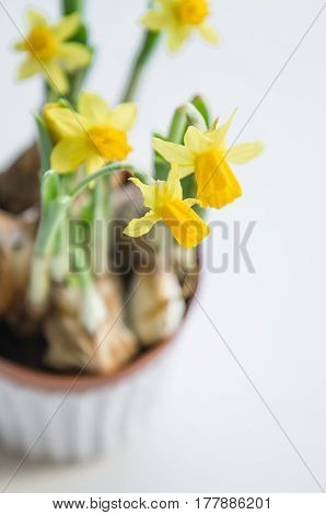 Spring easter background with yellow daffodils bouquet in pot on on white background. Flowers cleaning concept. Holiday