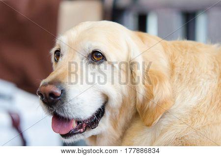 purebred golden retriever laid down. Cute dog