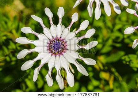 Osteospermum fruticosum, also called shrubby daisybush or trailing African daisy is a flowering plant native to South Africa