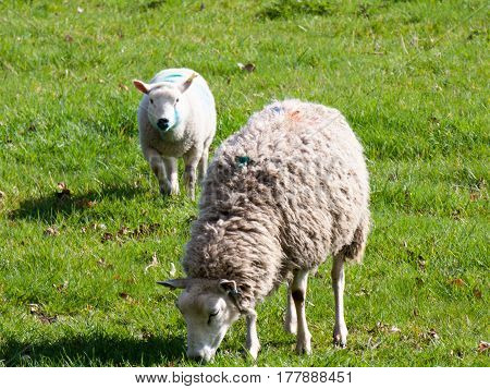 Two sheep in the field eating, one a lamb