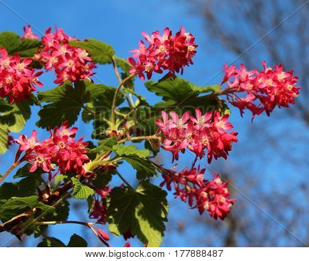 The early spring flowers of Ribes sanguineum also known as Flowering Currant or Red Flower Currant against a background of blue sky.