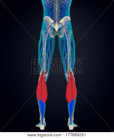 Calf muscles, human anatomy, gastrocnemius. 3d illustration