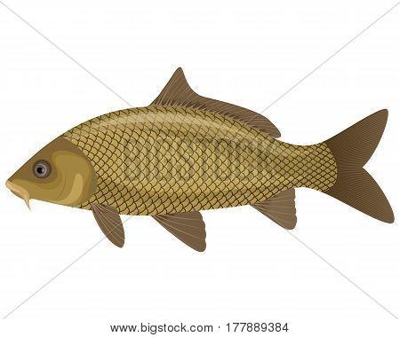 Vector illustration of a carp fish swimming