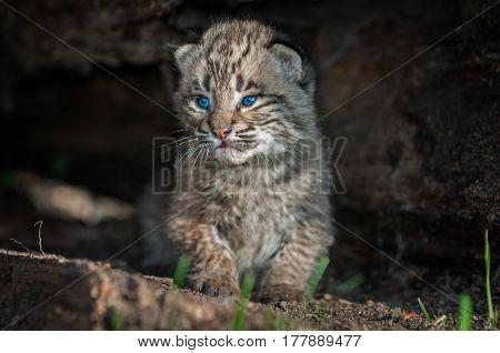 Bobcat Kitten (Lynx rufus) Sits Along in Log - captive animal