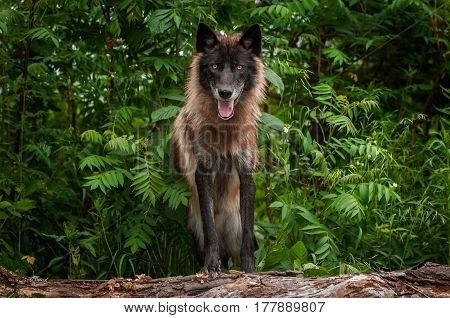 Black Phase Grey Wolf (Canis lupus) Looks Out from Atop Log - captive animal