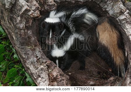 Striped Skunk (Mephitis mephitis) Vixen Stands Over Kit - captive animals