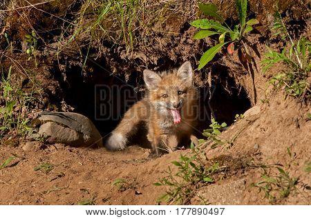 Red Fox Kit (Vulpes vulpes) Sits in Den Entrance - captive animal