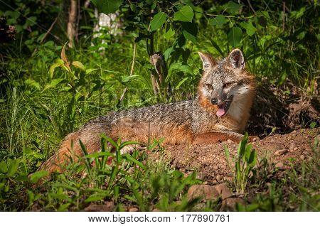 Grey Fox Vixen (Urocyon cinereoargenteus) Lies Panting in the Sun - captive animal