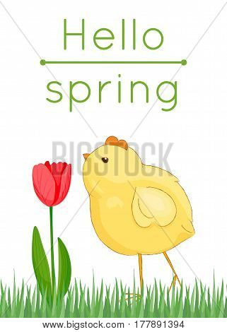 Hello spring card with grass, red tulip and chick. Vector illustration, cartoon style
