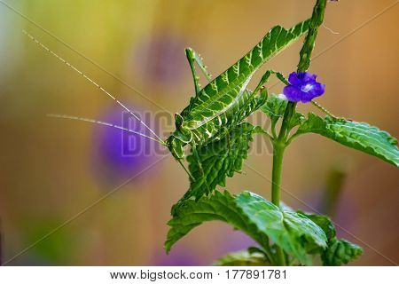 Acacia Katydid feeding on a shrub with purple flowers