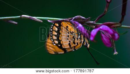 Spotted Joker Butterfly on a purple flower