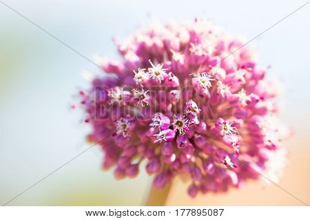 Beauty in fresh pink onion flower as spring and summer blossom macro closeup background full of bright light