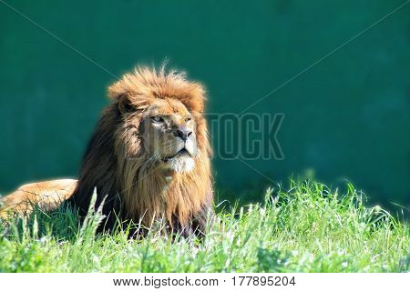 Big male lion in morning light close up