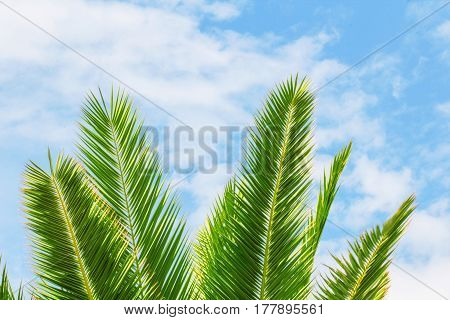 Green exotic tropical palm tree branch on a bright blue and white cloud and sky background as summer season and palm sunday concept background