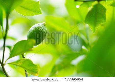 Healthy raw lime lemon citrus on a beautiful green tree branch full of leaves and bright sunlight as nature tropical health agriculture background
