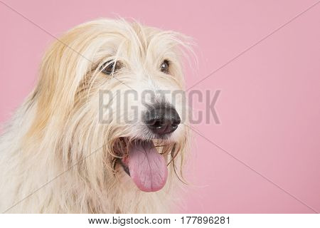 old longhaired white dog on pink background