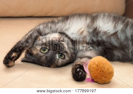 A young funny three-color cat lies on the sofa, plays with a toy and looking straight to the camera