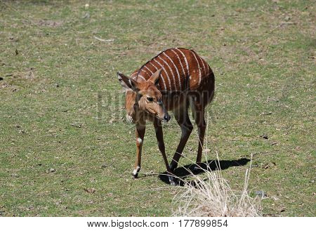 Great looking female nyala standing on the plains.