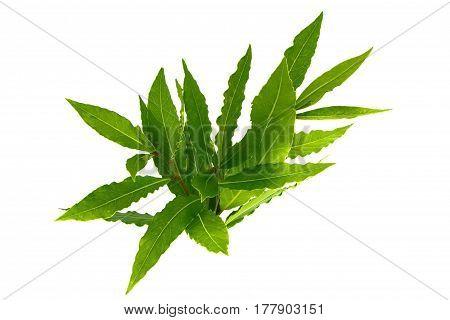 Fresh bay leaves on a branch; laurel