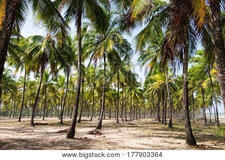 Coconut Trees Maracaipe - Pernambuco, Brazil