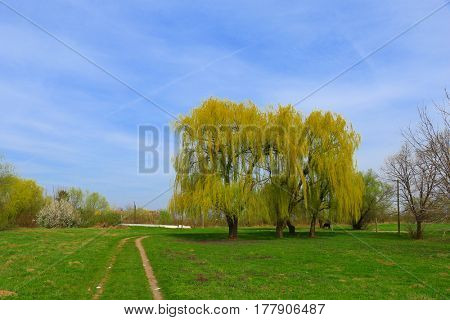 Weeping Willow in early spring