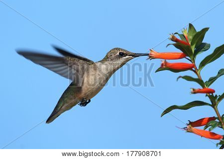 Juvenile Ruby-throated Hummingbird (archilochus colubris) in flight at a flower with a blue background
