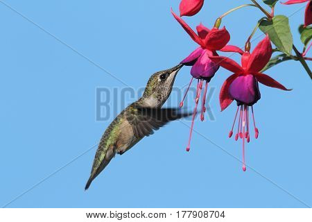 Juvenile Ruby-throated Hummingbird (archilochus colubris) in flight at a fuchia flower with a blue background