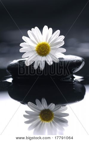 reflection of gerbera daisy on zen stones
