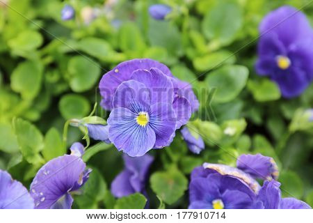 The Viola Tricolor Pansy, Flower Bed