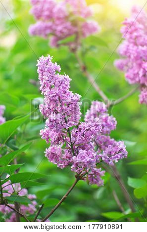 Flower of a lilac. Nature composition.