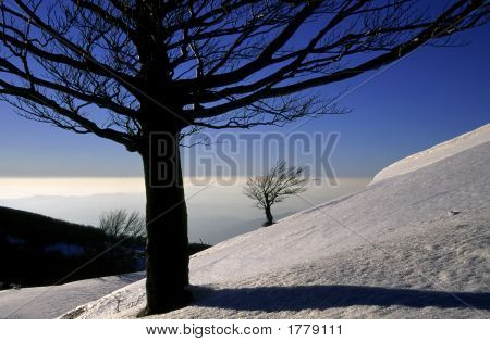 Beech Trees In Winter