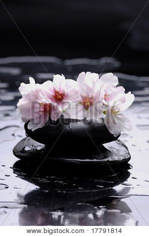 spring cherry flowers and black stones reflection