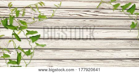 Old white painted wooden wall and bindweed twigs with leaves and flowers for background