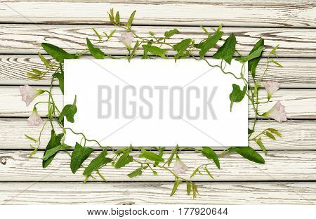 Bindweed flower and leaves in a frame on white wooden background