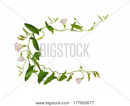 Bindweed flower and leaves in a frame isolated on white background